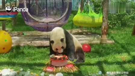 没想到大熊猫爱吃冰的蛋糕,不愧是国宝级待遇!