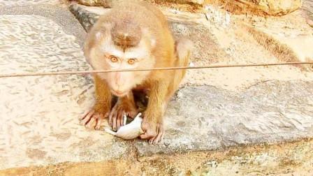 一只老鼠被猴子抓住,接下来猴子使出绝招,老鼠:不跑了不跑了!