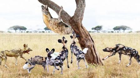 一只鬣狗被野狗围攻,真是狗多力量大,鬣狗:有种单挑!