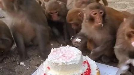 一个大生日蛋糕分给猴子们,看到眼前一幕,颠覆了我的想象!