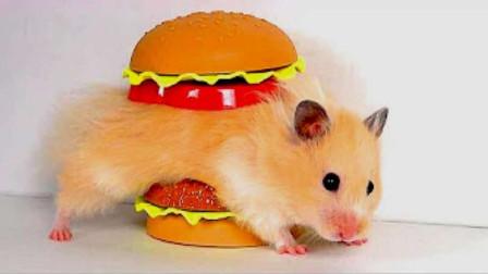 仓鼠的智商到底有多高?铲屎官自制汉堡迷宫测试,仓鼠:就这啊?