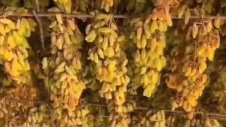 吃了这么久的葡萄干,原来是这么制作的,就是不知道味道怎样!