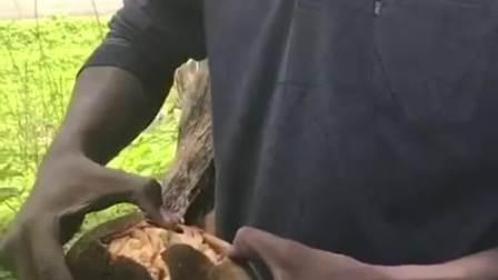 非洲神奇的猴面包树,真的会长面包吗