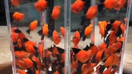 朋友家养的小鱼缸,看到眼前的一幕,真是壕无人性!