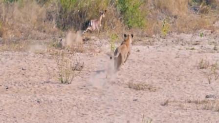 饥饿的狮子跟踪黑斑羚,网友:失败的狩猎