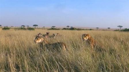 动物世界:2只母狮与鬣狗部落的较量