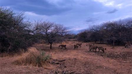 动物世界:狮子试图攻击鬣狗