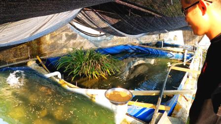 山泉水里全是宝贝,低温养殖整整2年,繁殖出的鱼苗更是价值不菲