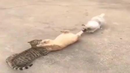 橘猫:二狗子你别拉我,我今天要和他分个高低