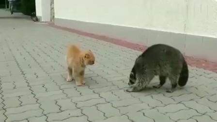 橘猫:跟着我,我叫你如何做猫?浣熊:你瞎呀,睁开你猫眼好好看看