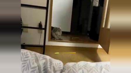 卷耳缅因猫咪这一跃,起码有三米吧