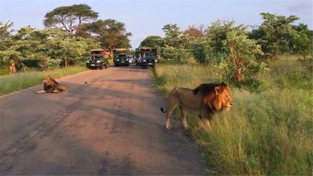 正在压马路的狮王偷溜,网友:情有可原