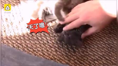 小奶猫神技:和主人游玩,刹时睡着