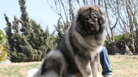 """全球最凶猛、战斗力最强的高加索犬,无愧""""犬中之王""""的威名!"""