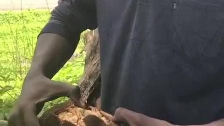 非洲神奇的猴面包树,真的会长面包吗?