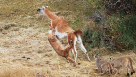 美洲狮猎杀羊驼,不料被一脚踩中要害,失去了最佳机会!