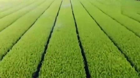 日本科技化生产抹茶粉,从种植采收到加工,真是让人赏心悦目