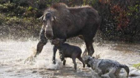 驼鹿将狼引入圈套,上演猛兽版鸿门宴,最后结局太亮了!