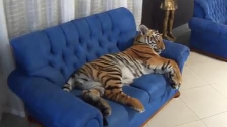 小老虎躺在沙发上,可爱的睡个午觉