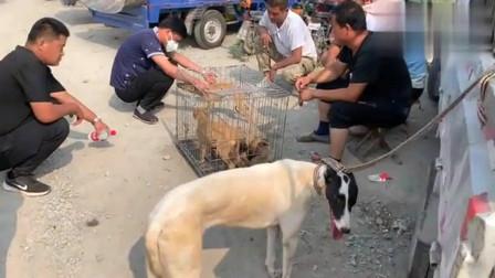 农村狗市:平原地区最凶猛的猎犬就是它了,你能跑我能追,四条腿速度排第一