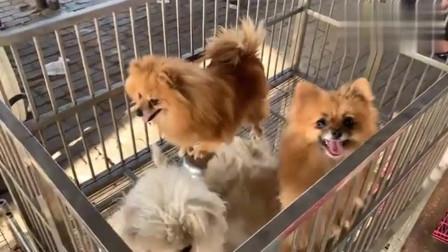 实拍狗市:天太热了,狗主人急眼了劝我包窝买,300的金毛,你说值不值?