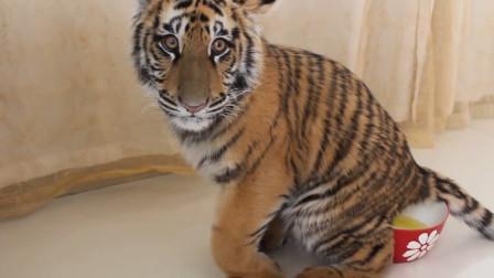 小老虎自己上厕所,接下来就逗了,一副生无可恋的模样!