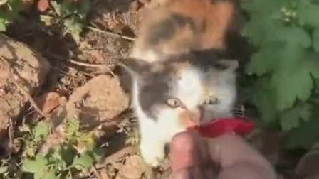 火腿肠喂个流浪猫,家猫不屑一顾的,流浪猫却要去抢