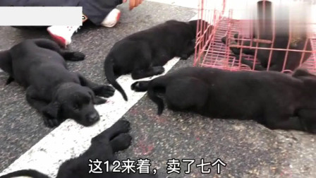 实拍狗市:狗市小伙卖一窝小黑狗,从小都是吃肉汤泡馍长大,300块一个贵不