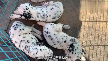 实拍狗市:价值20万的黄金狗,百年才能出现一次,相信粉丝们也没有见过?