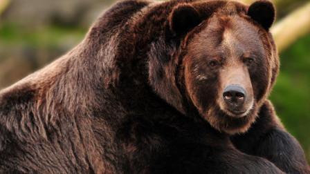 曾经和棕熊生活13年,最终却成熊的盘中餐,死前6分钟录音被禁播