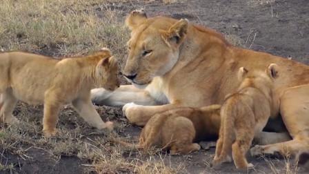 3只小狮子跟着妈妈出来玩,真是可爱极了!