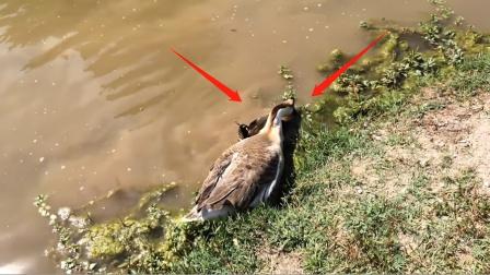 """河边大鹅行为异常,本以为在抓鱼,男子走近一看:""""谋杀""""现场!"""