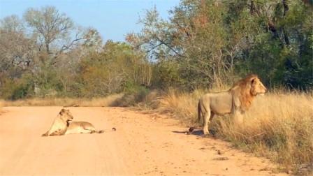 狮子大摇大摆的在马路上散步,这步伐真是威风霸气