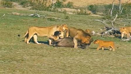 雄狮教小狮子猎杀小水牛,咬了一口就断气,真是太猛了