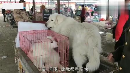 农村狗市:阿威去逛开封狗市,看见一只150斤的大型犬,很是喜欢却不敢养!