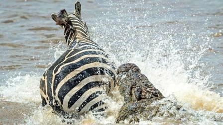 斑马渡河才躲过鳄鱼,上岸又遇到狮子,斑马:难道死期到了?