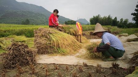 江西农村的山区,依然用打谷机收割,看着太辛苦了!