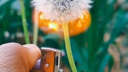 用打火机烧蒲公英,着火的一瞬间,简直美爆了