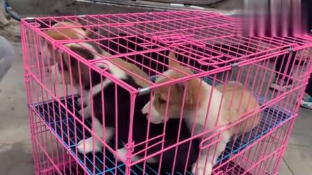 农村狗市:闲逛本市最大的狗市,一条2万的泰迪500成交,砍价也是一门学问