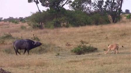 狮子遇到水牛,本想美食一顿,没想到却是这结果
