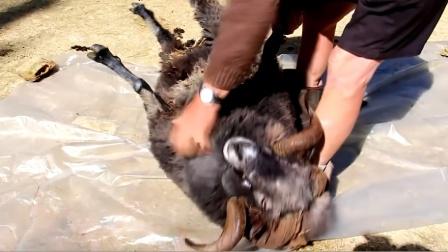 男子强行给公羊剃光毛,公羊看到后彻底怒了!下一秒意外发生