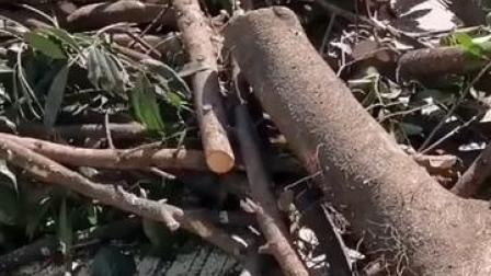 #官方回应成都桂花巷桂花树被砍 结果来了!