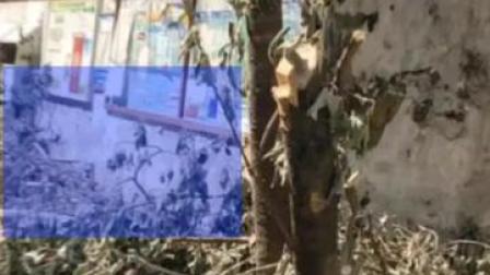 成都桂花巷桂花树被砍,结果公布!责令施工单位赔偿损失金额并处以罚款共计501120元。