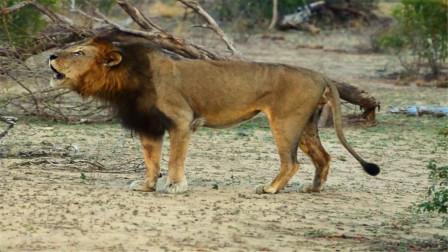 雄狮在领地上巡逻,发出疯狂吼叫