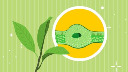 同学们,树叶我们常常看到,但是树叶内部的结构你们了解吗?