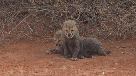 野生猎豹幼崽,毛茸茸的超可爱