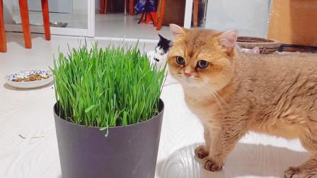 全家猫吃猫草,从来没见过猫草的小猫蒙了,老爸,谁给咱家添的绿