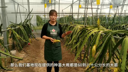 火龙果种植,如何快速见到效益?就是这么简单!