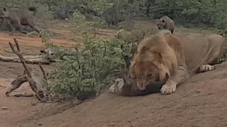 雄狮偶遇鬣狗,鬣狗一命呜呼