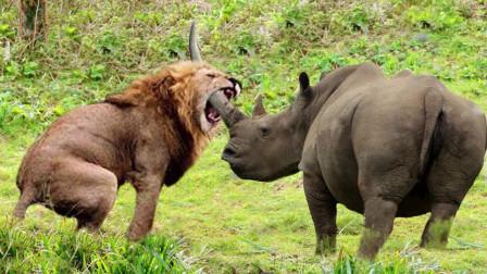 犀牛大战狮子,盘点那些犀牛遭遇战